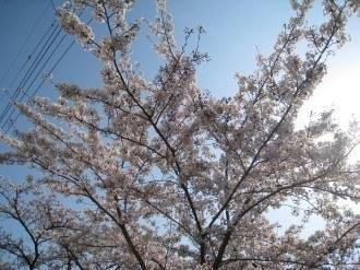 二ヶ領用水沿いに残った桜