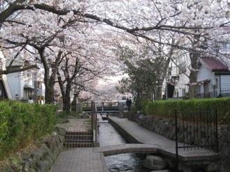渋川①の桜(1)