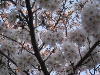 渋川の桜・接写