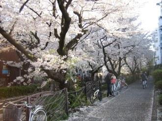 渋川①の桜(2)